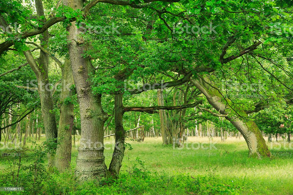 Deciduous Forest royalty-free stock photo