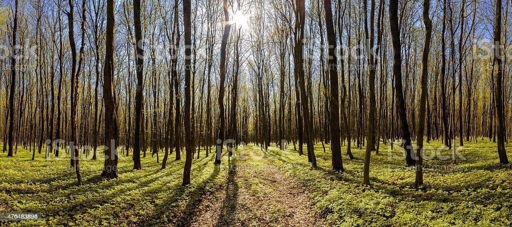 Forêt de feuillus photo libre de droits