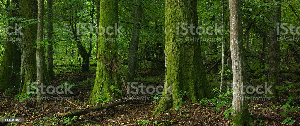 Deciduous forest with old tree moss wrapped royalty-free stock photo