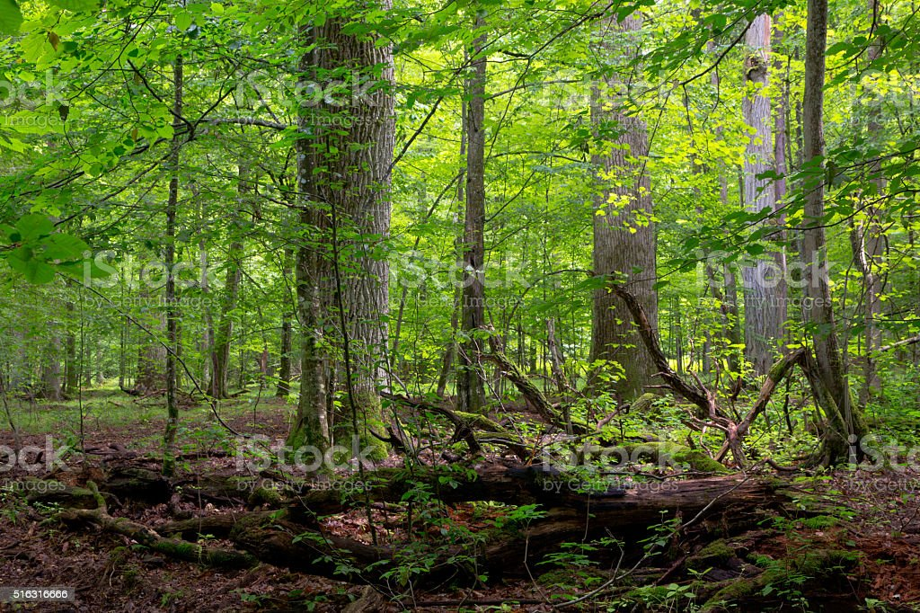 Deciduous stand in summer with broken trees stock photo