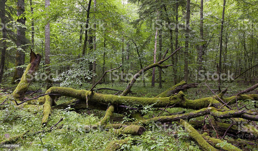 Deciduous stand of Bialowieza Forest in summer royalty-free stock photo