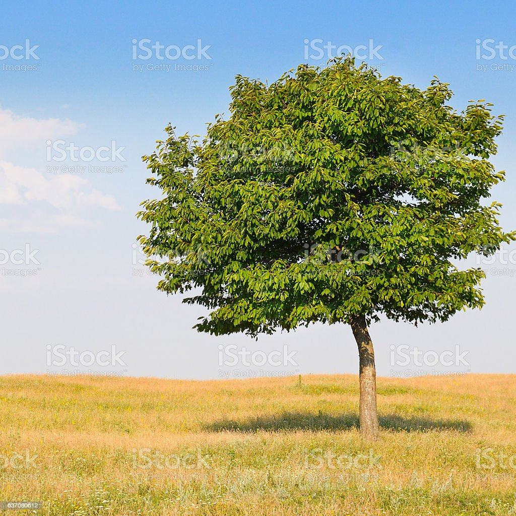 deciduous tree in the meadow and sky stock photo
