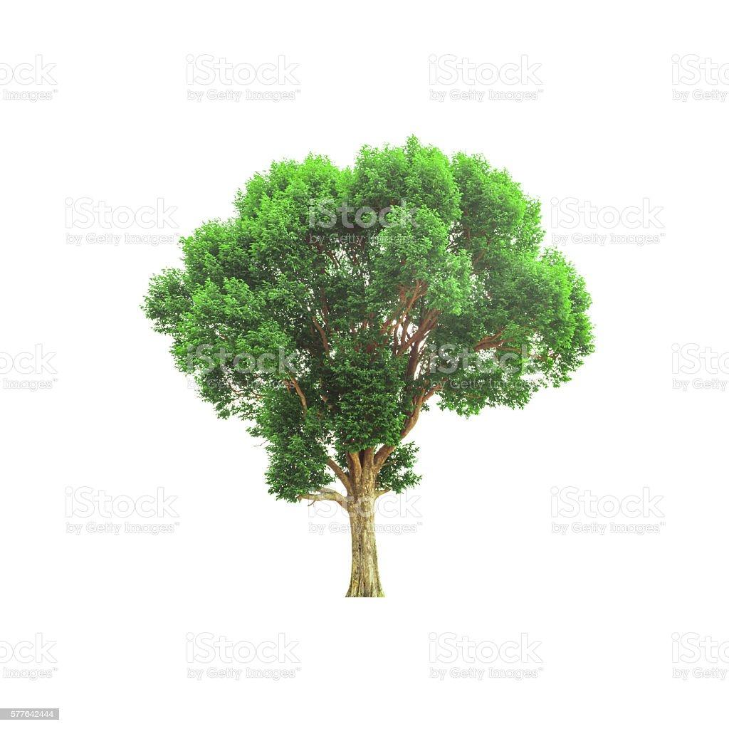 deciduous tree stock photo