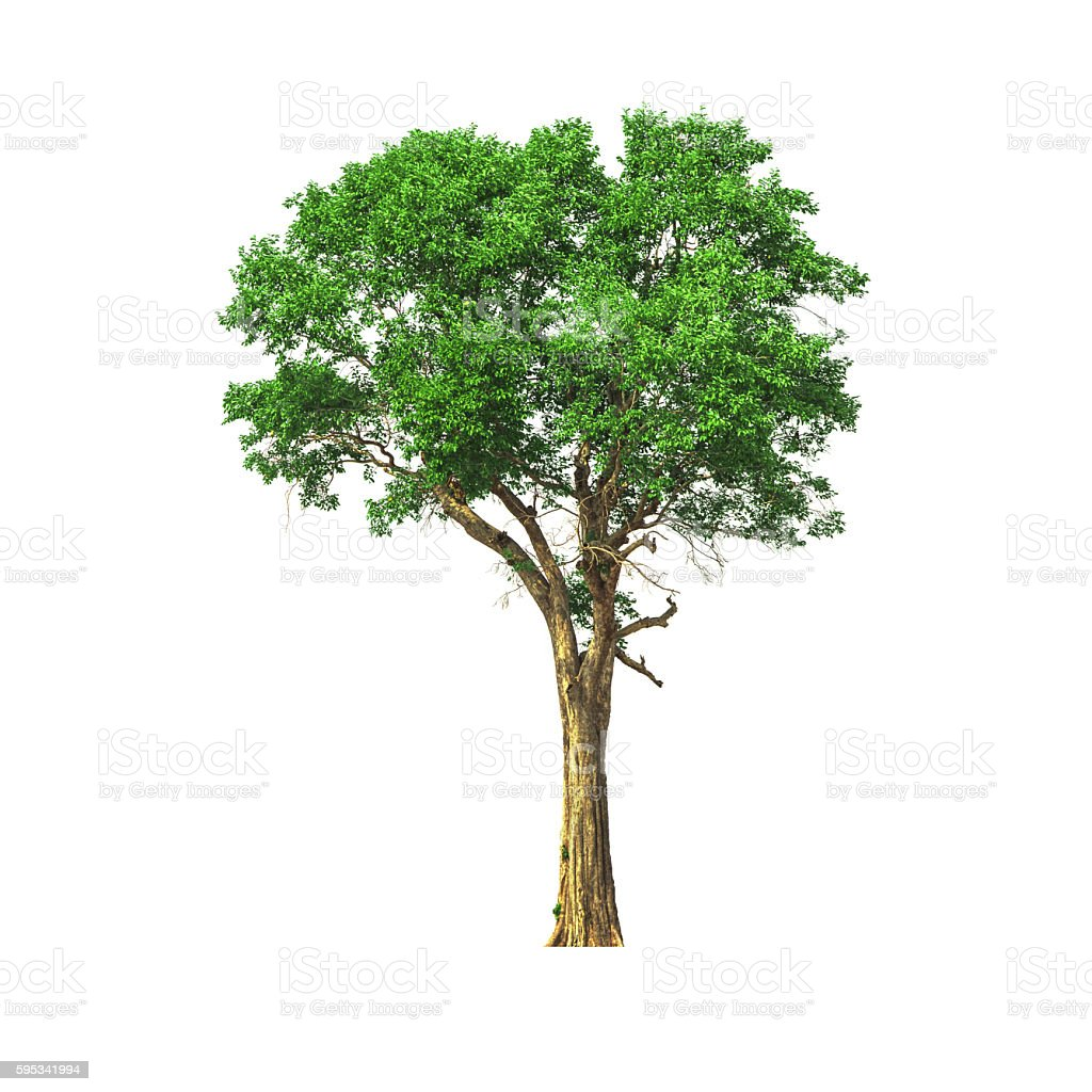 deciduous tree. stock photo