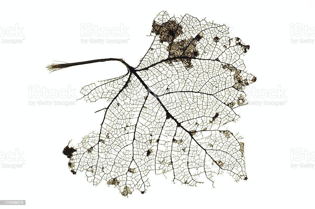 Decomposed Leaf stock photo