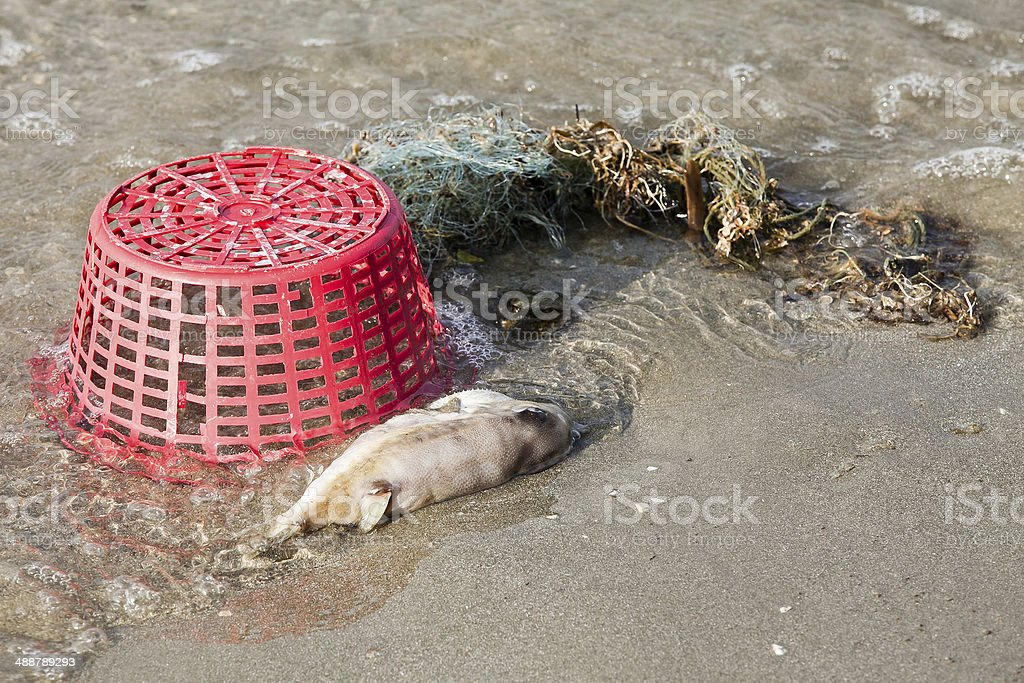 Decomposing dead fish carcass washed ashore on beach with mostly stock photo