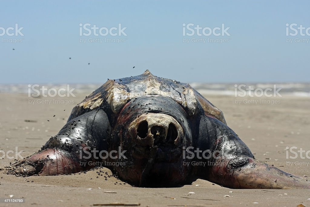 Decomposition of a Turtle royalty-free stock photo