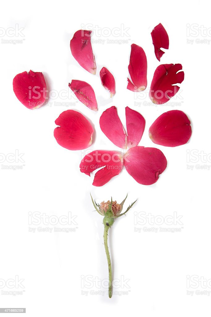 deconstructed flower and petals on white stock photo