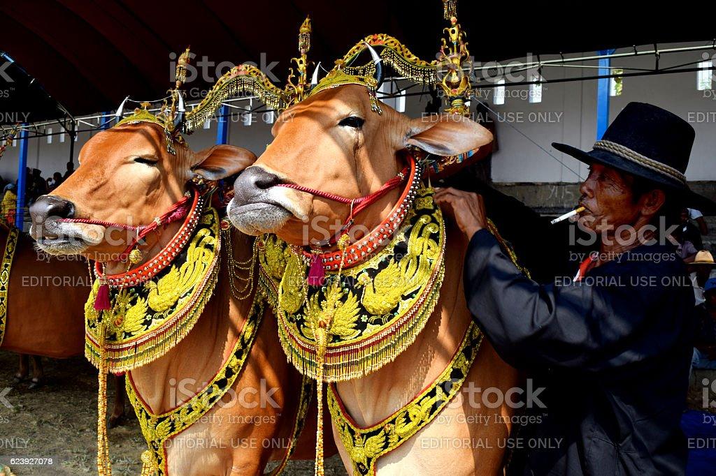 Decorated bulls stock photo