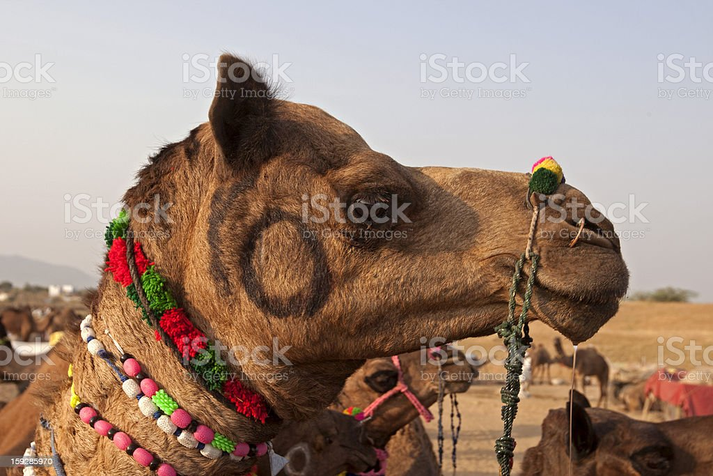 Decorated Camel at Pushkar fair royalty-free stock photo