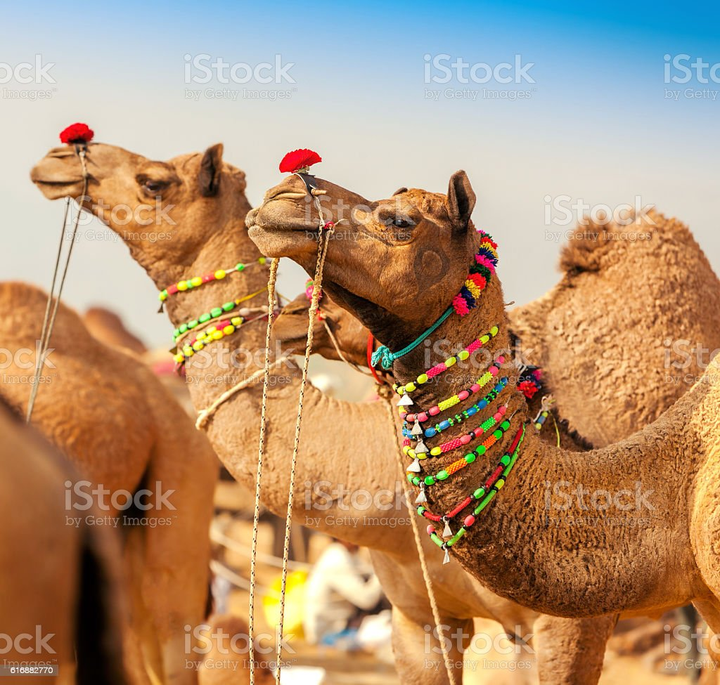 Decorated camel at the Pushkar fair. Rajasthan, India stock photo