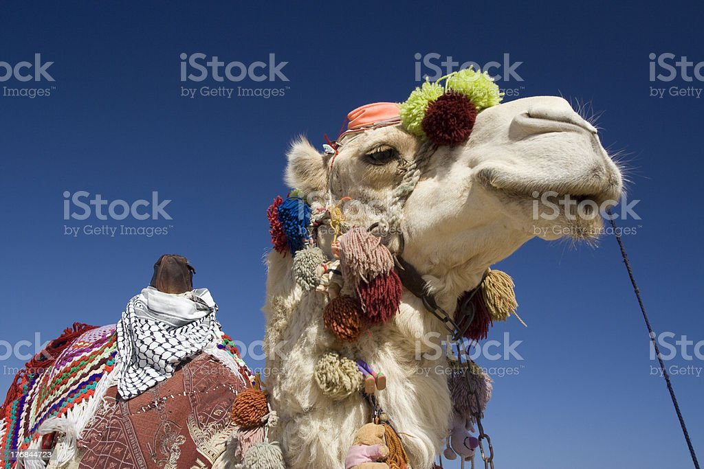 Decorated Camel in Egypt stock photo