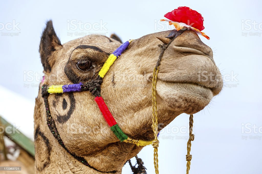 decorated camel in India royalty-free stock photo