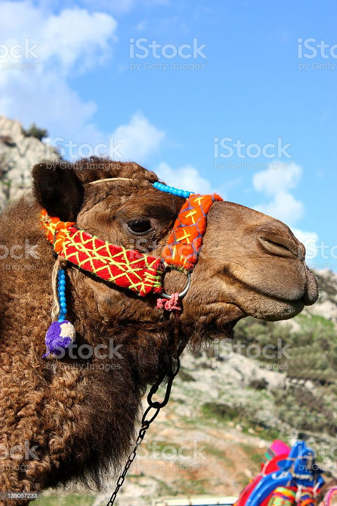 Decorated Camel royalty-free stock photo