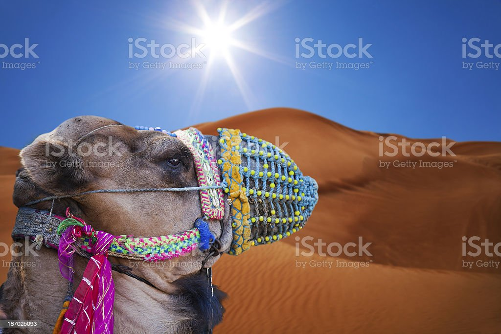 Decorated Camel - Stock Image royalty-free stock photo
