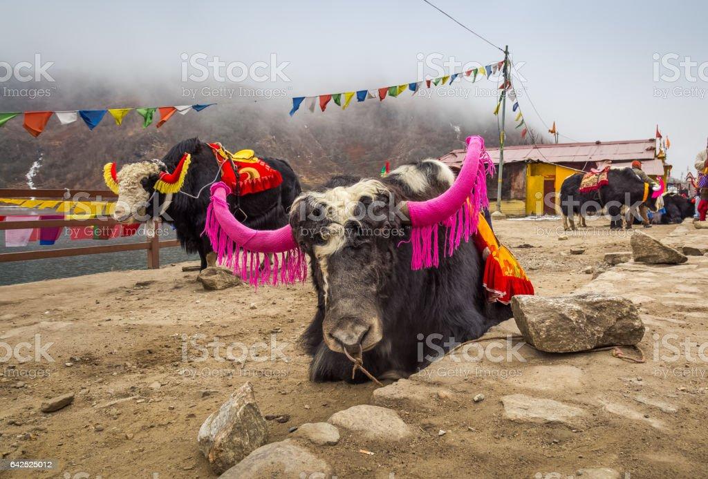 Decorated Himalayan yaks beside Tsomgo Lake Sikkim, India. stock photo