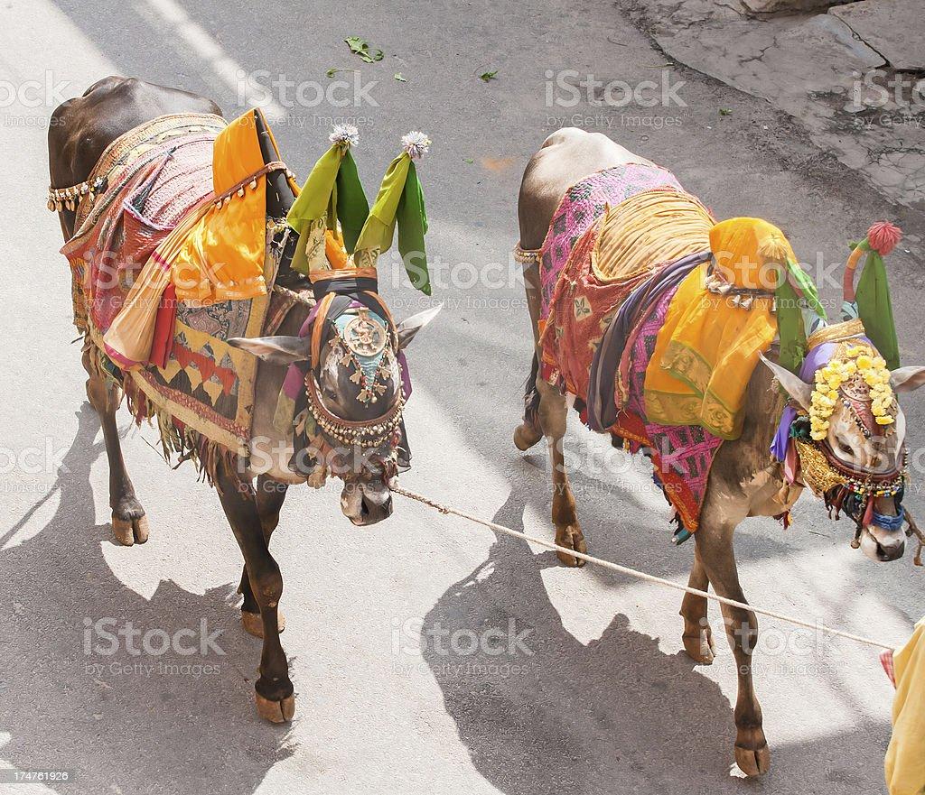 Decorated Indian bulls stock photo