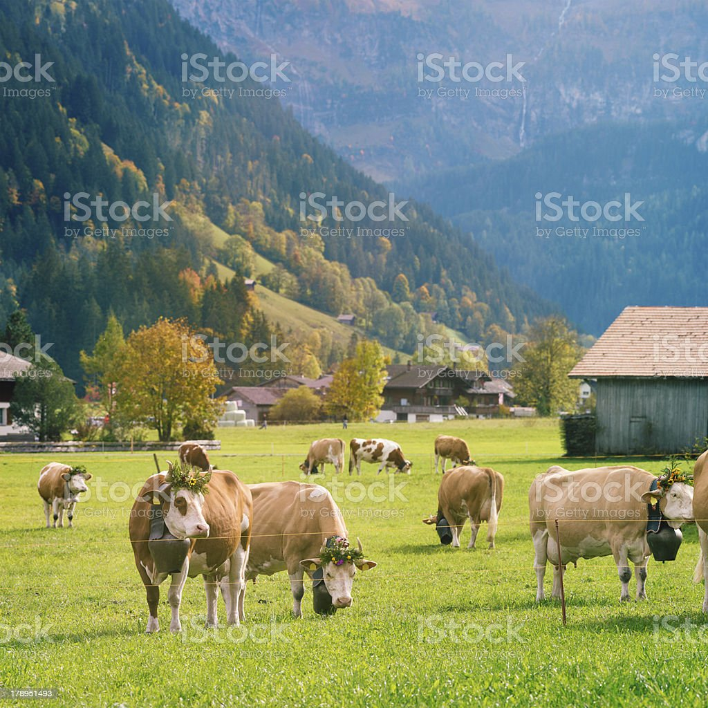 Decorated Simmental Cattle Grazing in Alpine Valley royalty-free stock photo