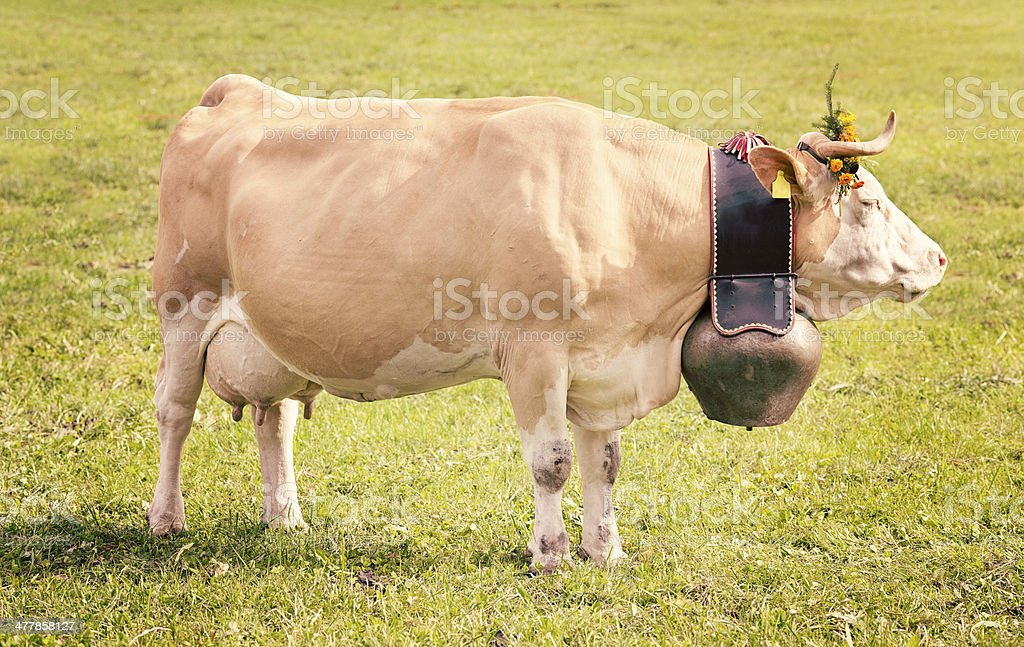 Decorated Simmental Milk Cow with large bell Switzerland royalty-free stock photo