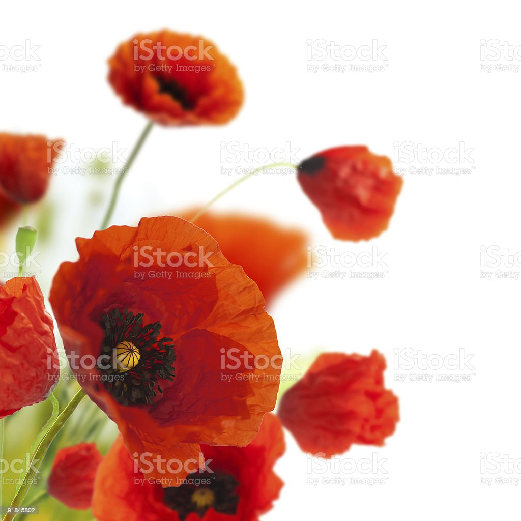 decoration flowers, poppies border - corner royalty-free stock photo