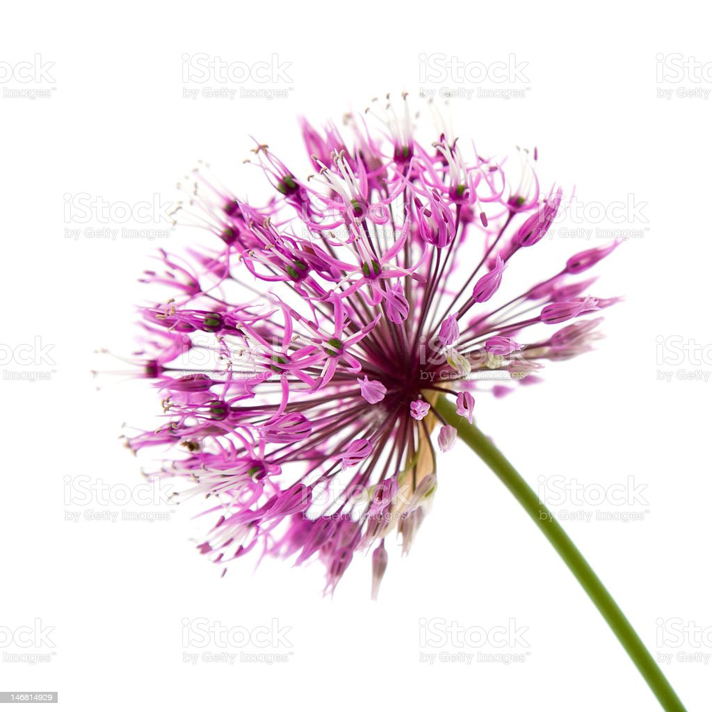 decorative allium royalty-free stock photo