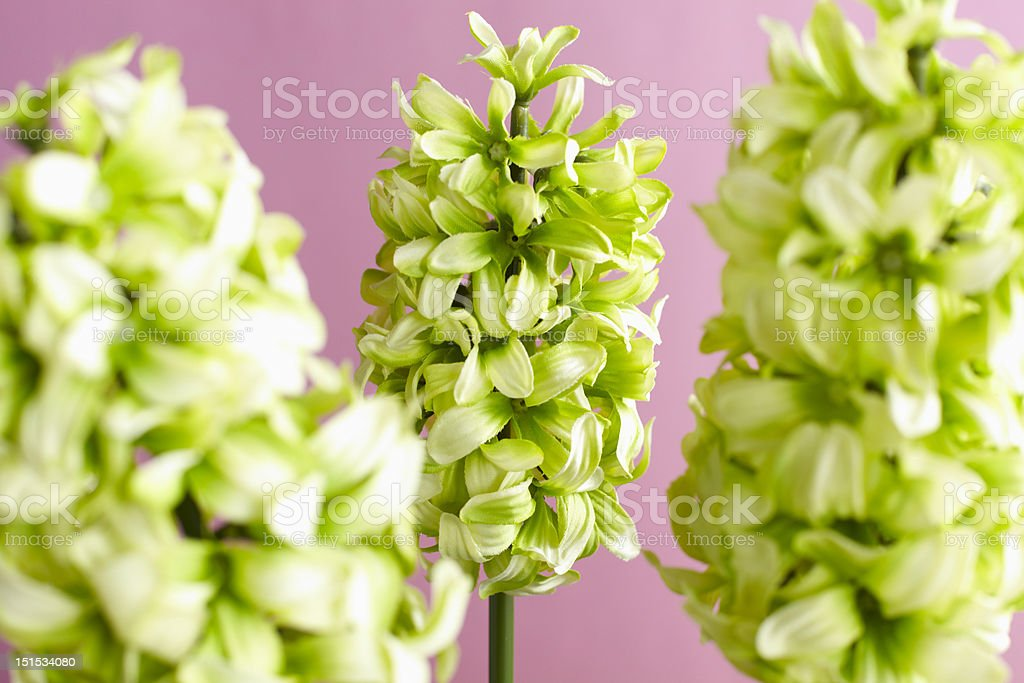 Decorative artificial hyacinth royalty-free stock photo