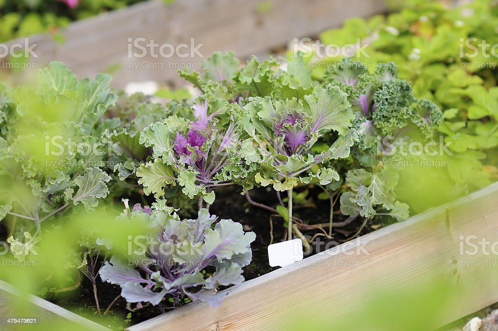 Decorative cabbage seedlings stock photo