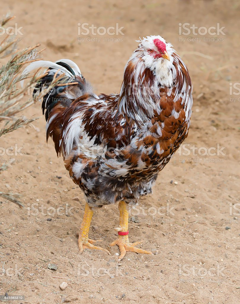 Decorative chickens. stock photo
