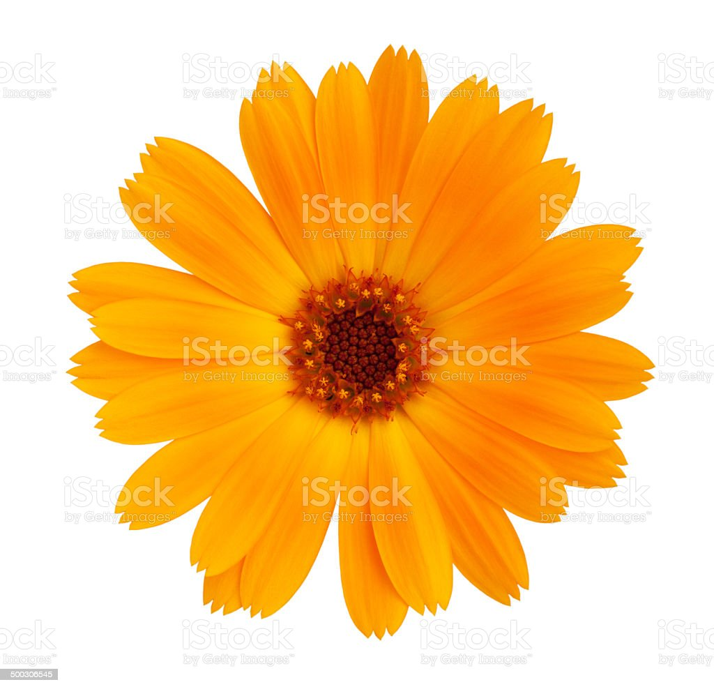 Decorative daisy bright orange color stock photo