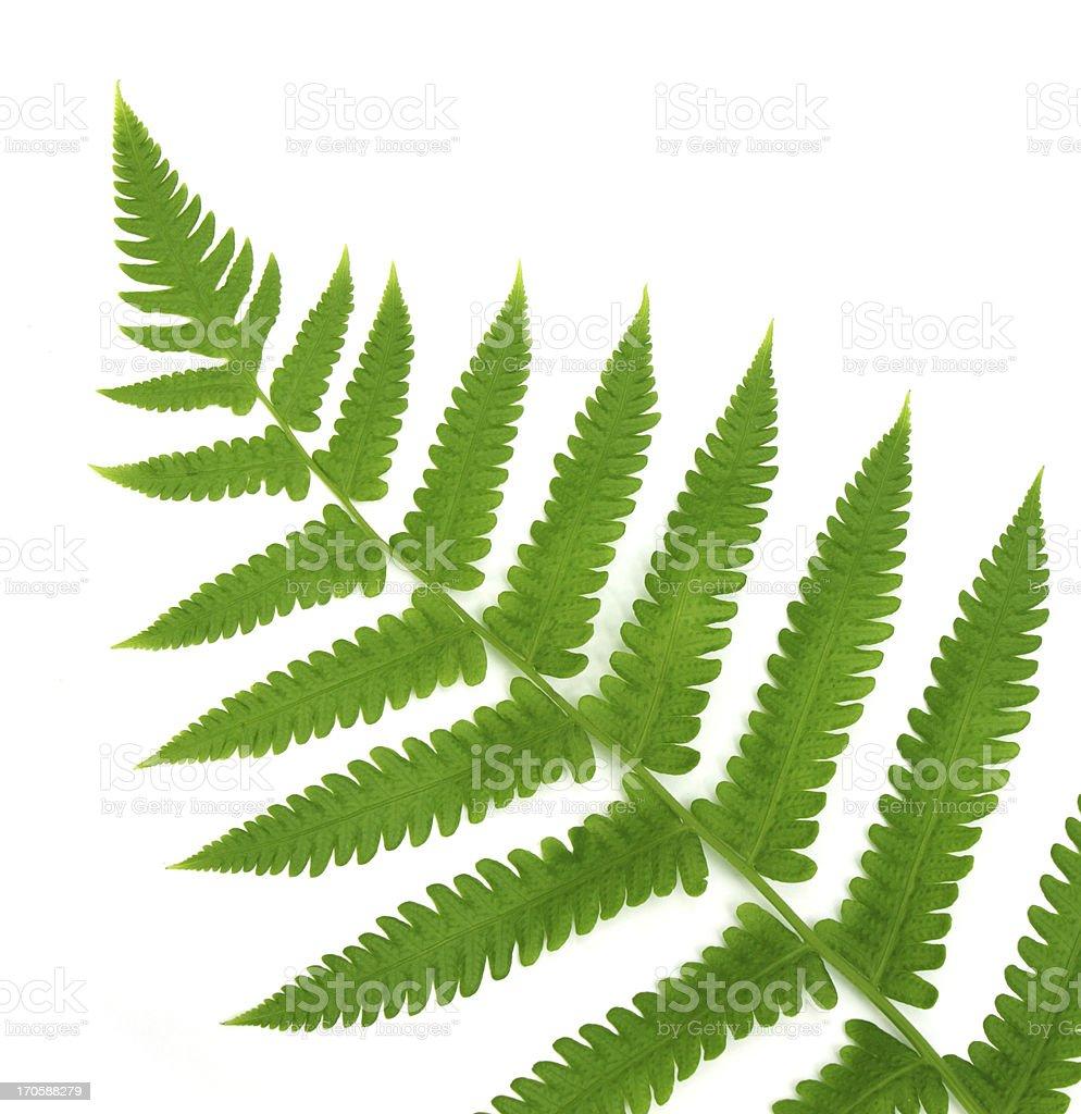 Decorative fern royalty-free stock photo