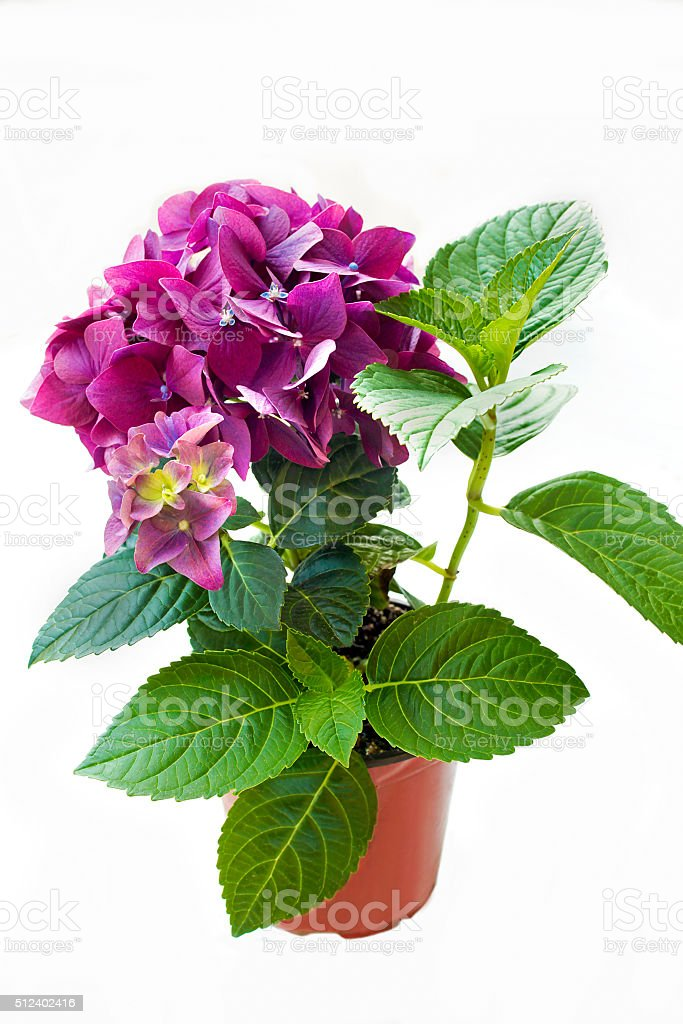 Decorative garden perennial flower. stock photo