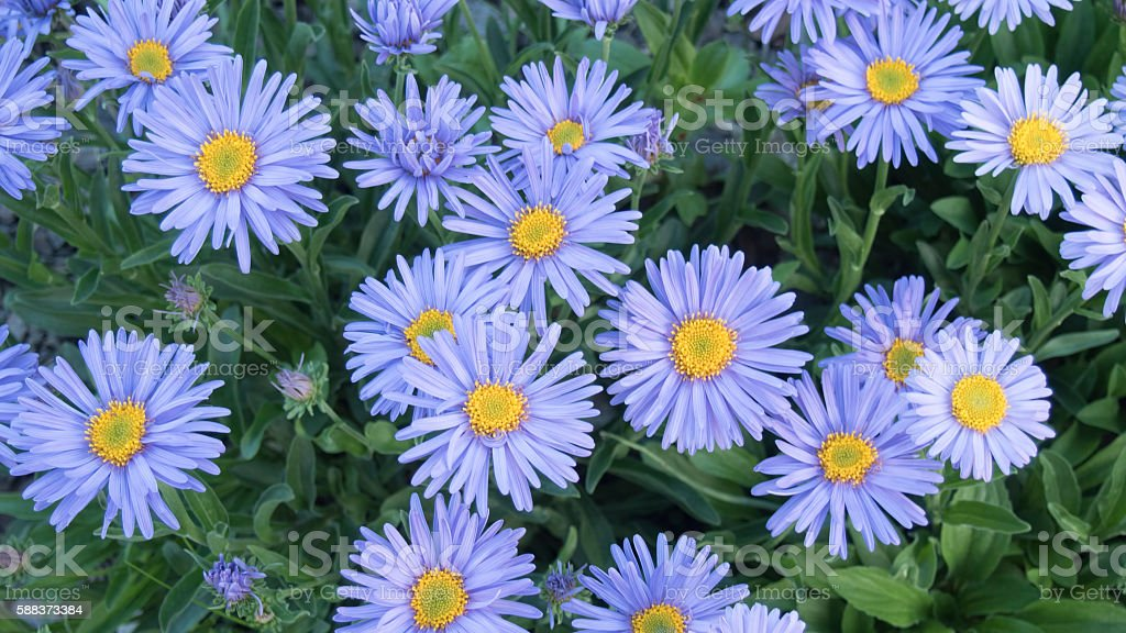 Decorative garden plant with purple flowers. Alpine Aster stock photo