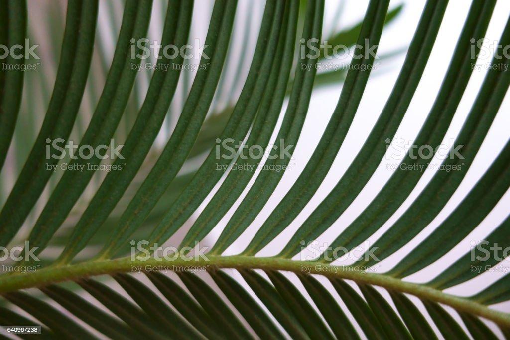 Decorative green leaf palm tree howea stock photo