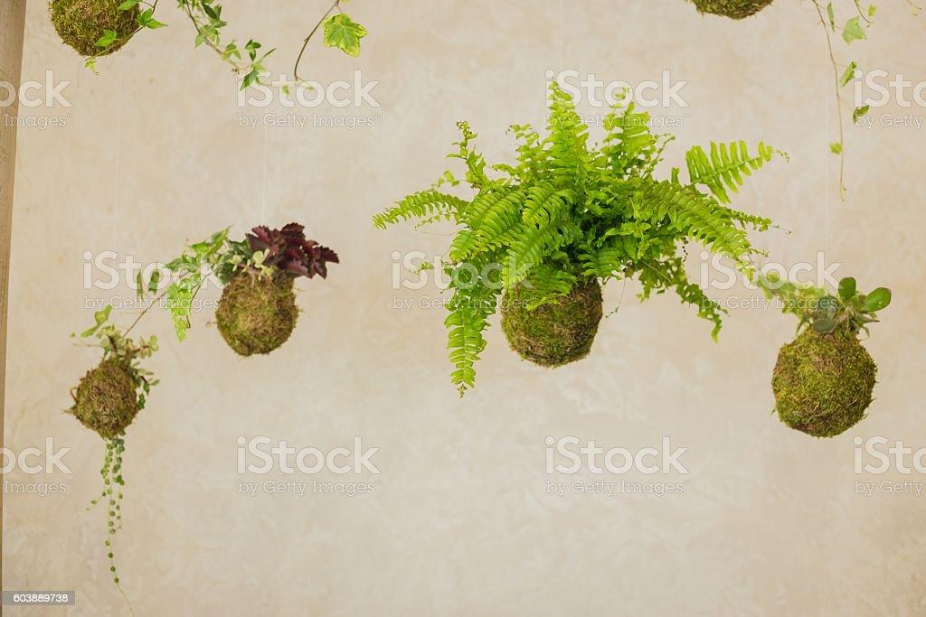 Decorative green shrub in form of ball stock photo