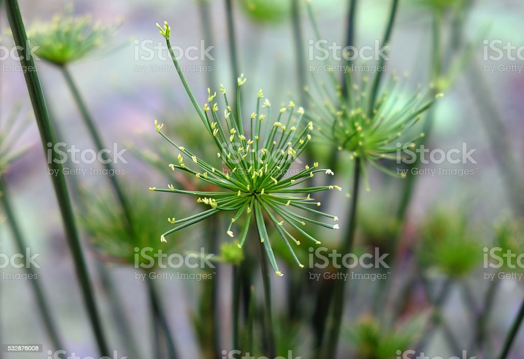 Decorative Papyrus plant stock photo