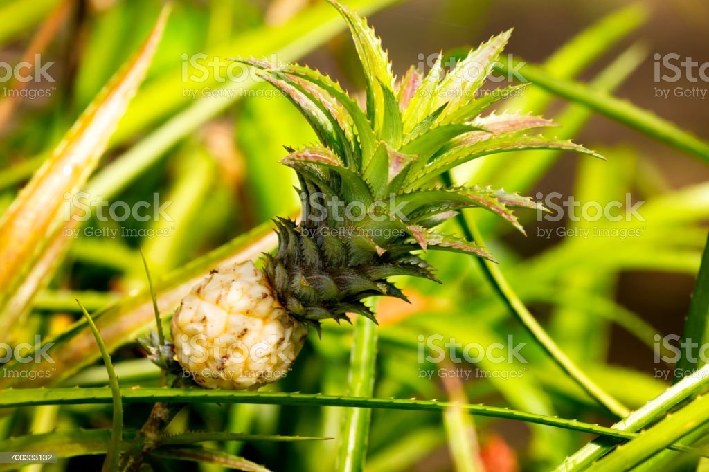 Decorative Pineapple plant stock photo
