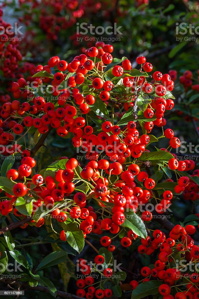 Decorative plant Red berry with green leaves bushes stock photo