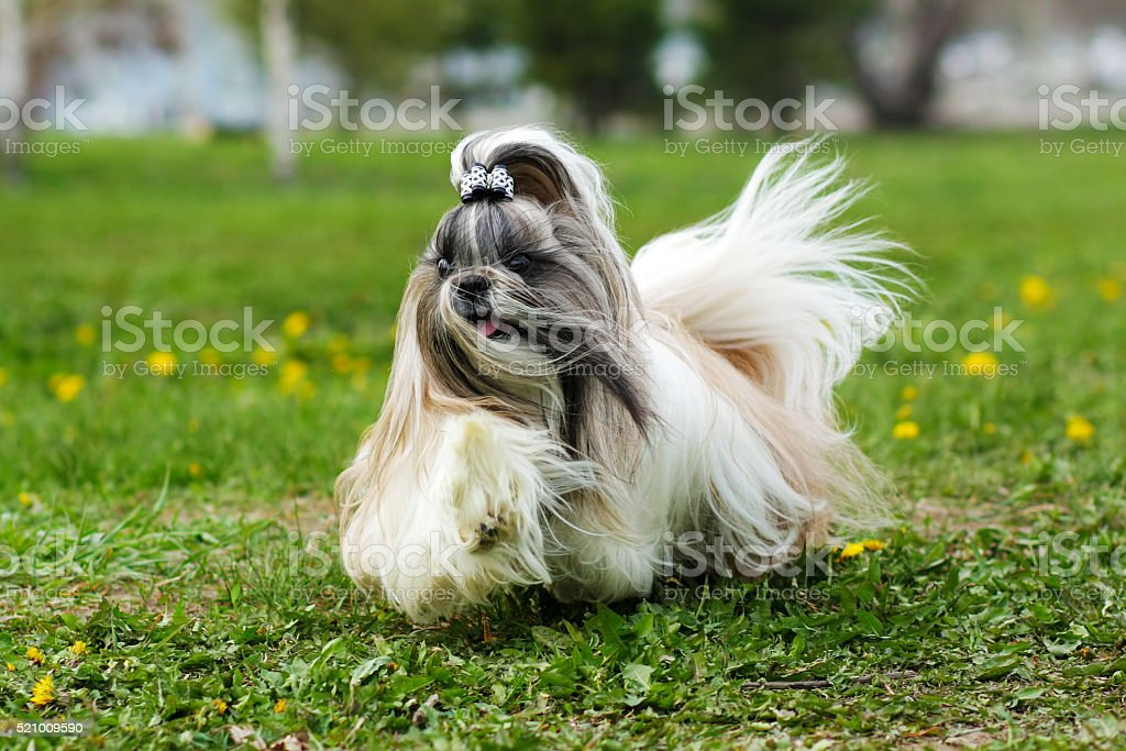 decorative Shih Tzu dog runs stock photo