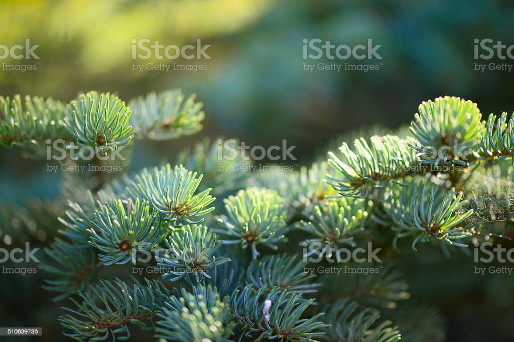 decorative spruce in the garden stock photo
