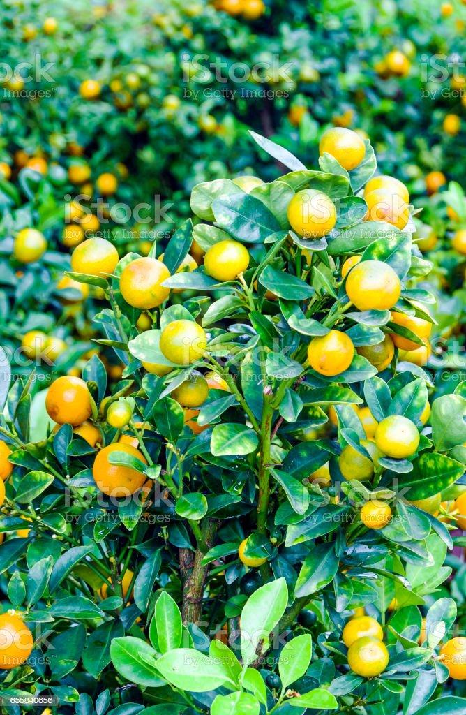Decorative tangerines stock photo