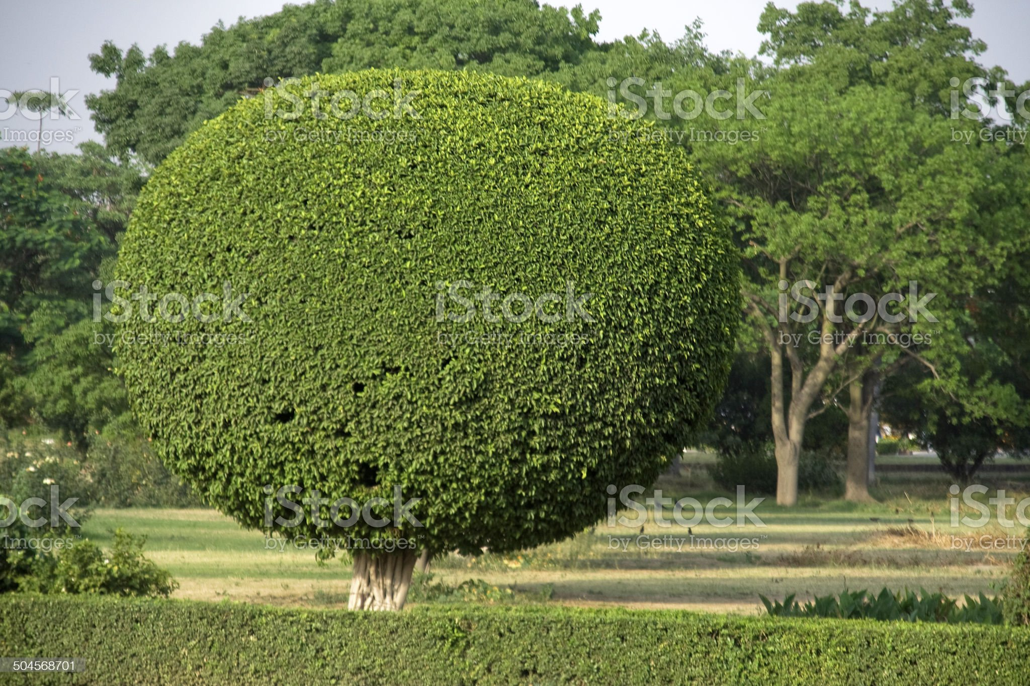 Decorative Tree Pruning royalty-free stock photo