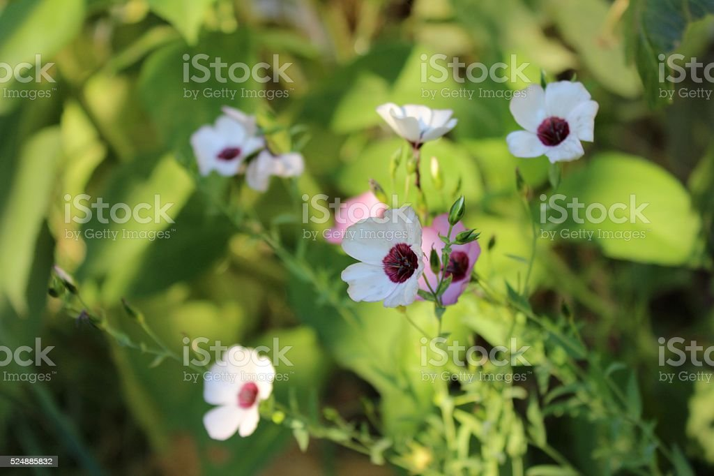 Decorative white flax flowers in the garden. stock photo