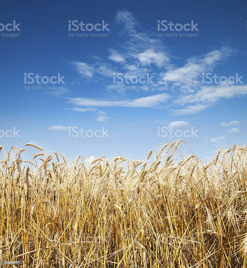 deep blue sky and barley stock photo