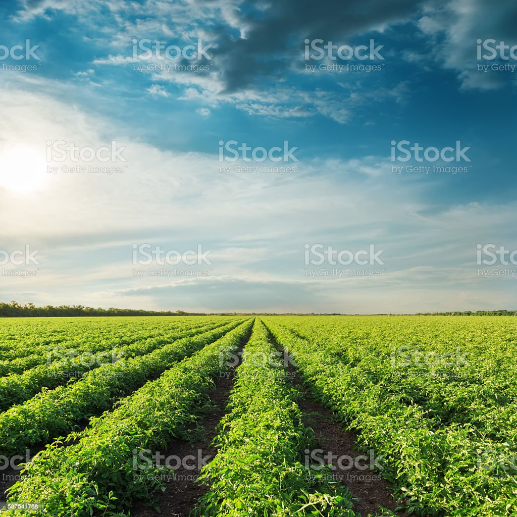 deep blue sky on sunset and field with green tomatoes stock photo