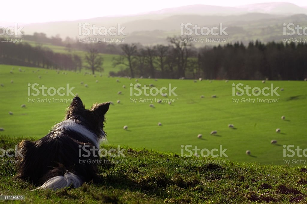 A deep dog keeping a close watch on the sheep stock photo