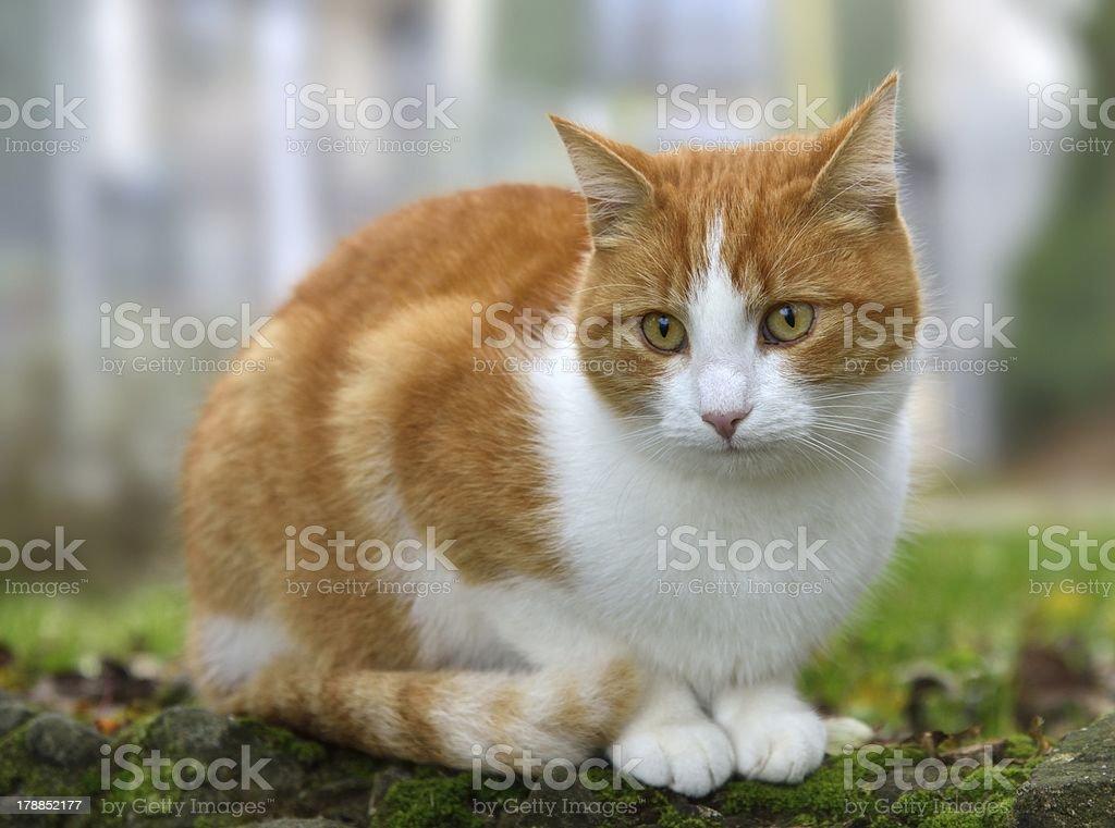 Profundidad de ojos de gato foto de stock libre de derechos