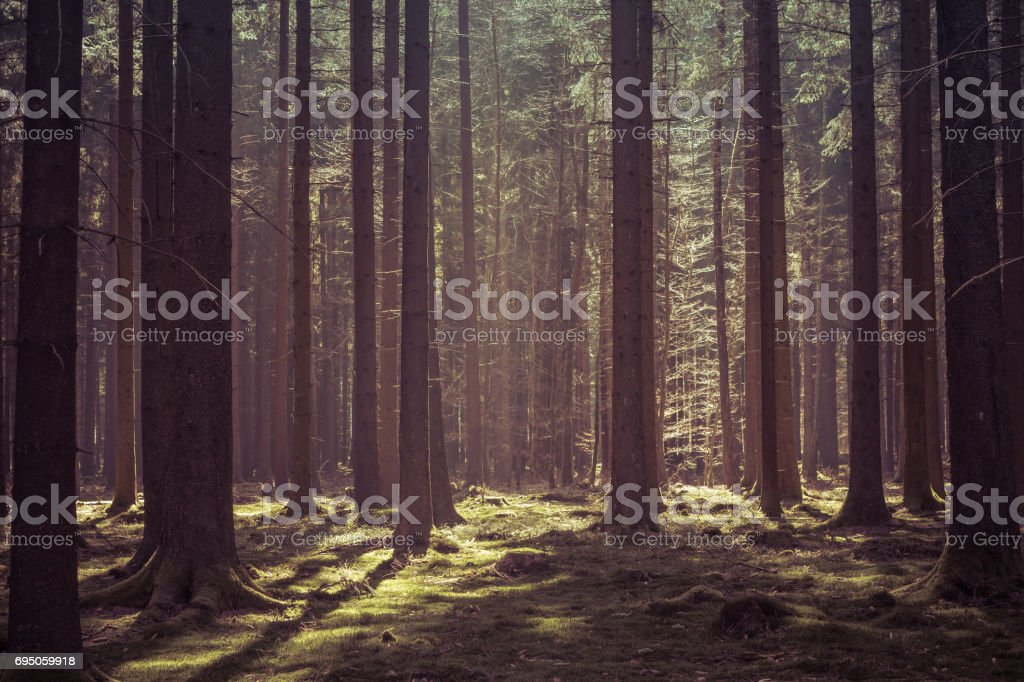 Deep forest in morning sunlight stock photo