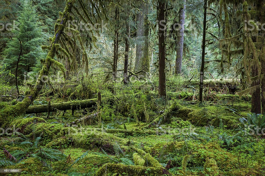 Deep forest in Olymic National Park stock photo