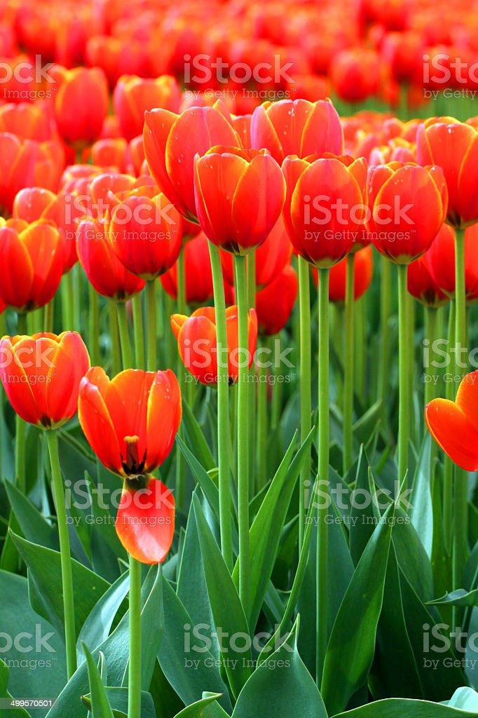 Deep Orange royalty-free stock photo