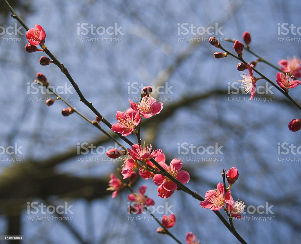 Deep Pink Blossom. stock photo